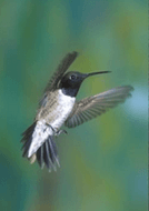 Black Chinned Hummingbird